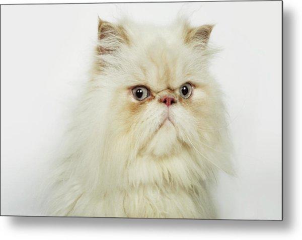 Portrait Of A Persian Cat Metal Print by Flashpop