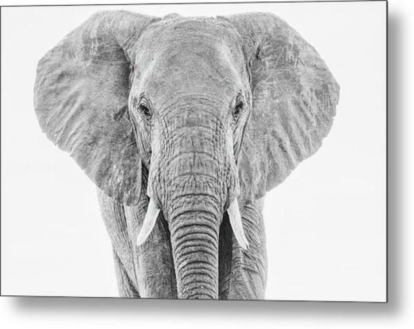 Portrait Of An African Elephant Bull In Monochrome Metal Print
