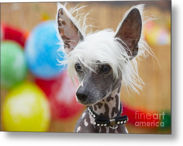 Portrait Of Chinese Crested Dog - Copy Metal Print