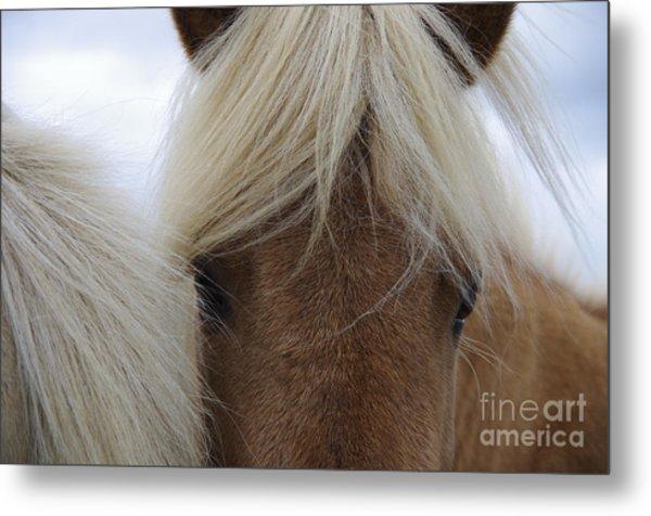 Portrait Of Icelandic Horses With Long Metal Print
