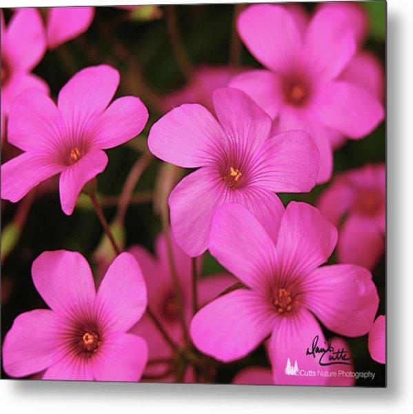 Pretty Pink Phlox Metal Print