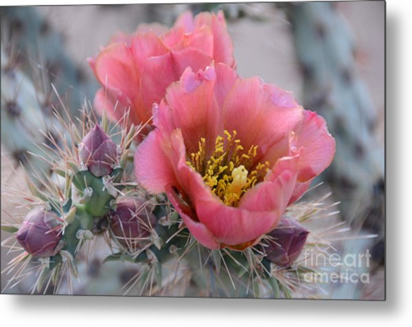 Prickly Pear Cactus With Pink Flowers Metal Print