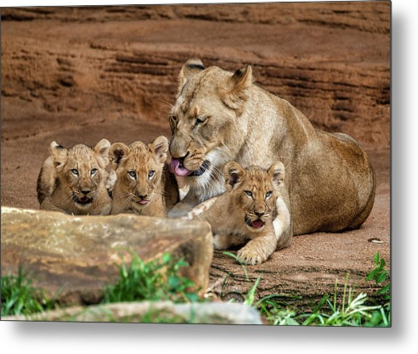 Metal Print featuring the photograph Pride Of The Pride 6114 by Donald Brown