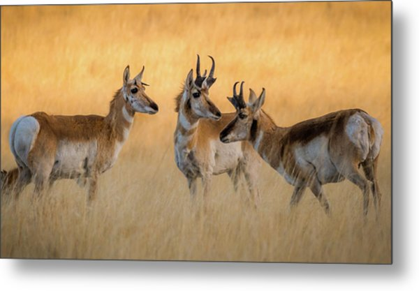 Pronghorn Morning Meeting Metal Print