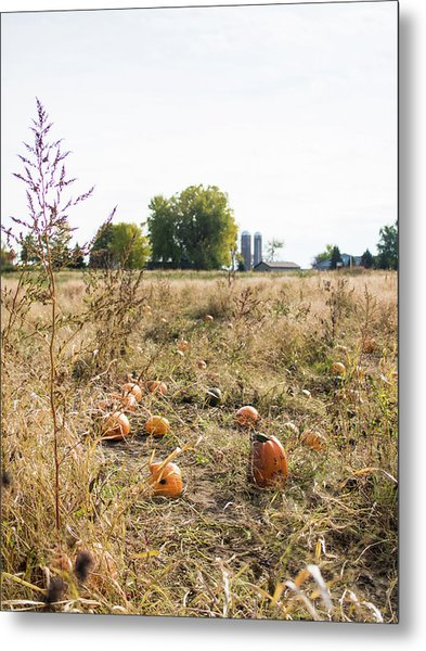 Pumkins In Field Metal Print
