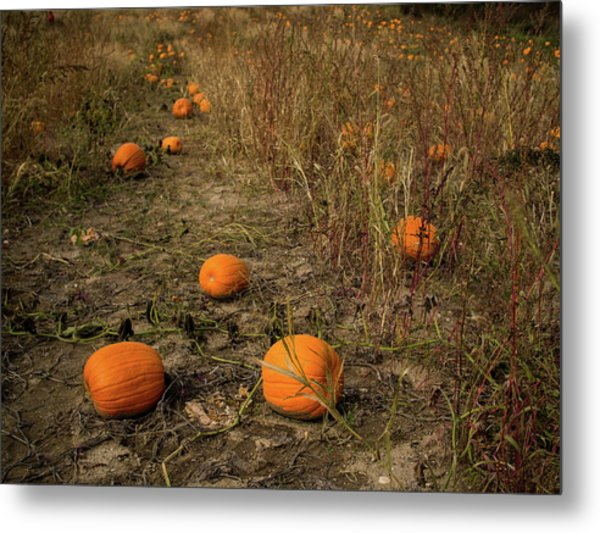 Pumpkins Lying In A Field Metal Print