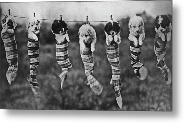 Puppy Wash Day Metal Print by Archive Photos