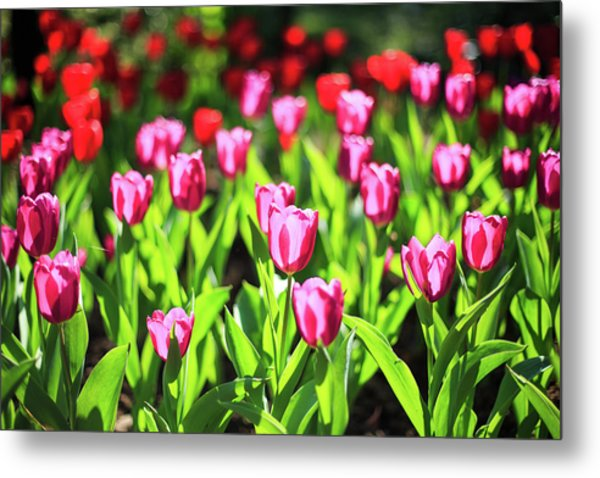 Purple And Red Tulips Under Sun Light Metal Print