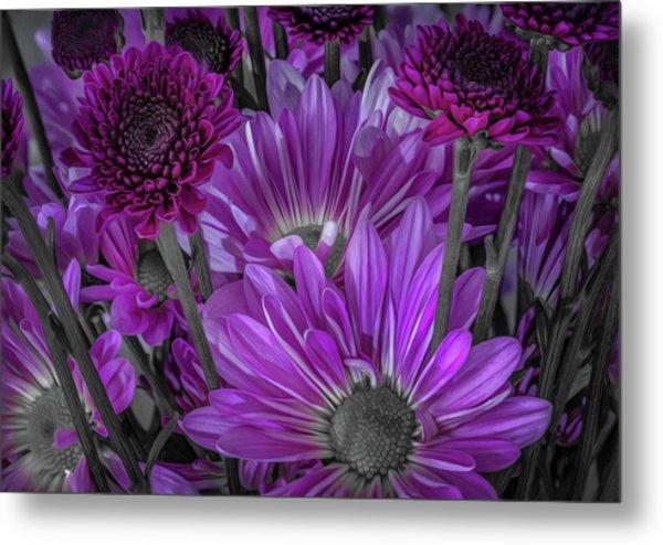 Purple Power Chrysanthem Selective Colorum  Metal Print