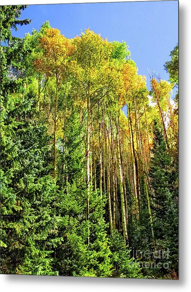 Quaking Aspens Metal Print