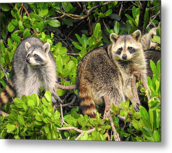 Raccoons In The Mangroves Metal Print