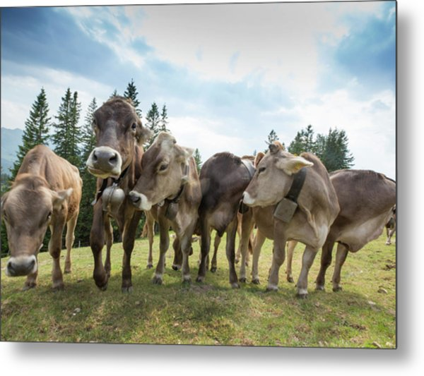 Rambunctious Swiss Cows With Cow Bells Metal Print by Guy Midkiff