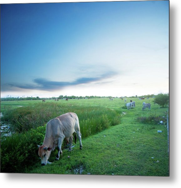Ranch With Cows At Sunset Metal Print