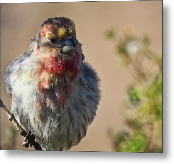 Rare Multicolored Male House Finch Metal Print