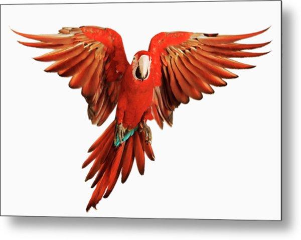 Red-and-green Macaw Ara Chloroptera Metal Print by Martin Harvey