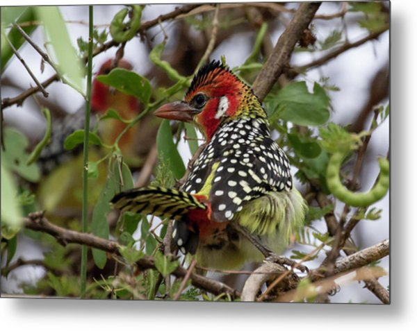 Red-and-yellow Barbet Metal Print