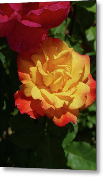 Red And Yellow Rio Samba Roses Metal Print