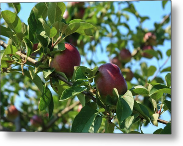 Metal Print featuring the photograph Red Apples In The Apple Tree by Tatiana Travelways