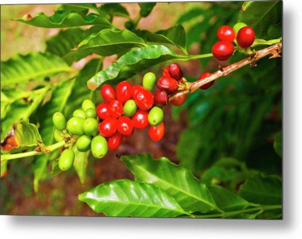 Red Coffee Cherries On The Vine Metal Print by Russ Bishop