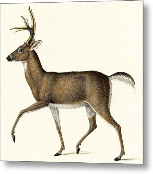Red Deer, 1824 Colour Litho Metal Print