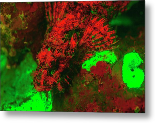 Red Fluorescing Scorpionfish Surrounded Metal Print by Stuart Westmorland