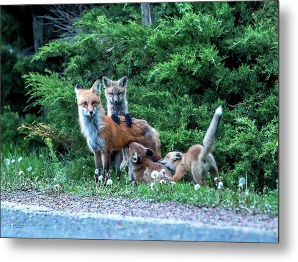 Red Fox Family Metal Print