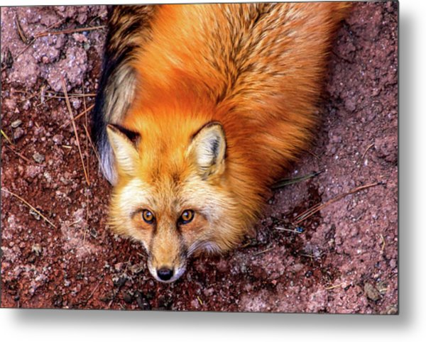 Red Fox In Canyon, Arizona Metal Print