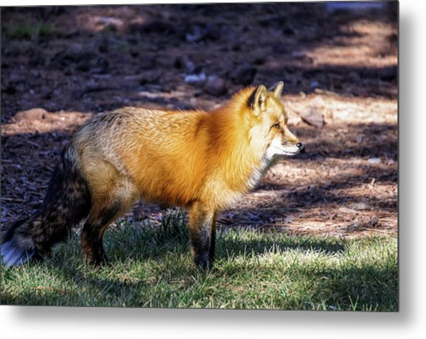 Metal Print featuring the photograph Red Fox In Morning Sun by Dawn Richards