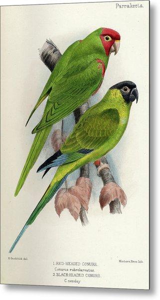 Red-masked Parakeet Metal Print