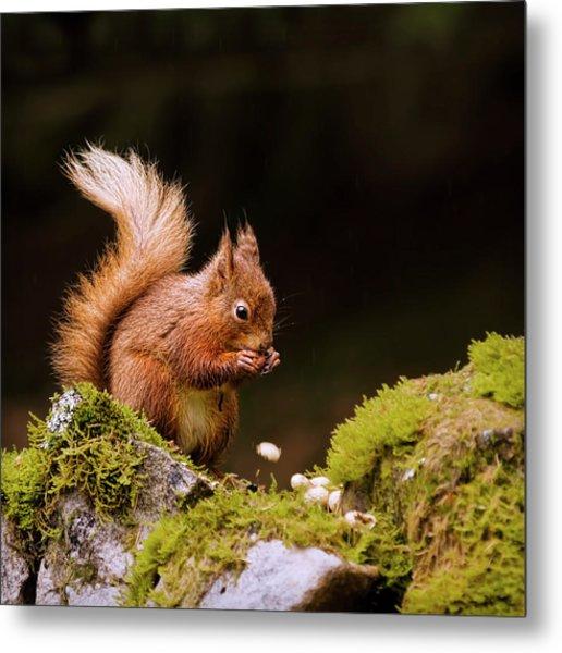 Red Squirrel Eating Nuts Metal Print