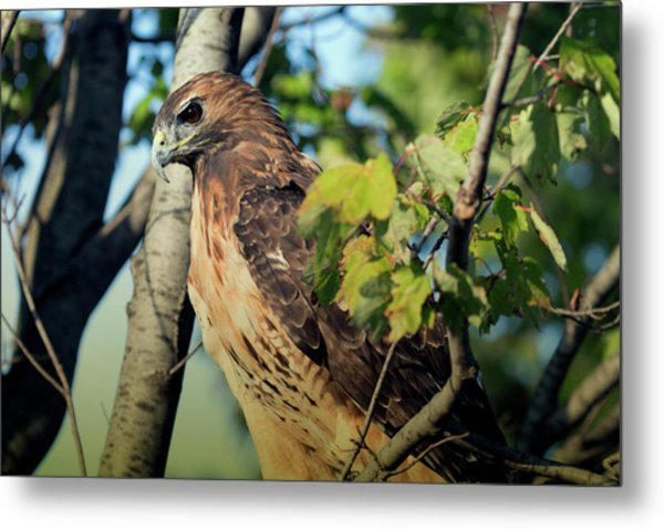 Red-tailed Hawk Looking Down From Tree Metal Print