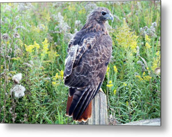 Red-tailed Hawk On Fence Post Metal Print