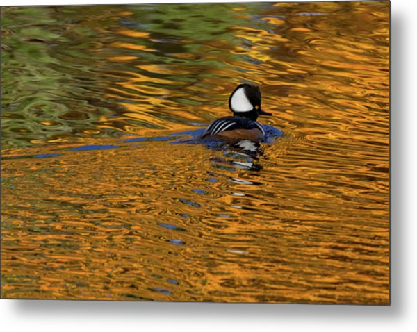Reflecting With Hooded Merganser Metal Print