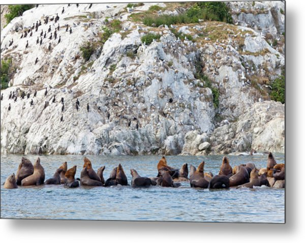 Resting Steller Sea Lions And Birds On Metal Print