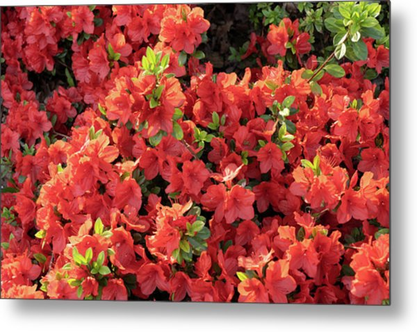 Rhododendron Geisha Orange Flowers Metal Print