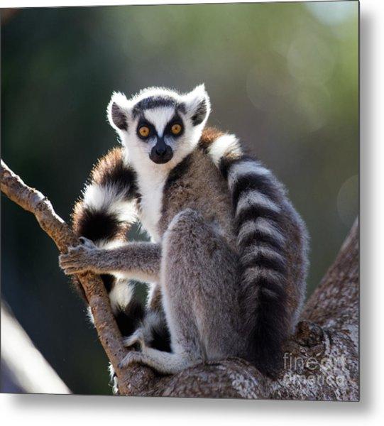 Ring-tailed Lemur Sitting On A Tree Metal Print