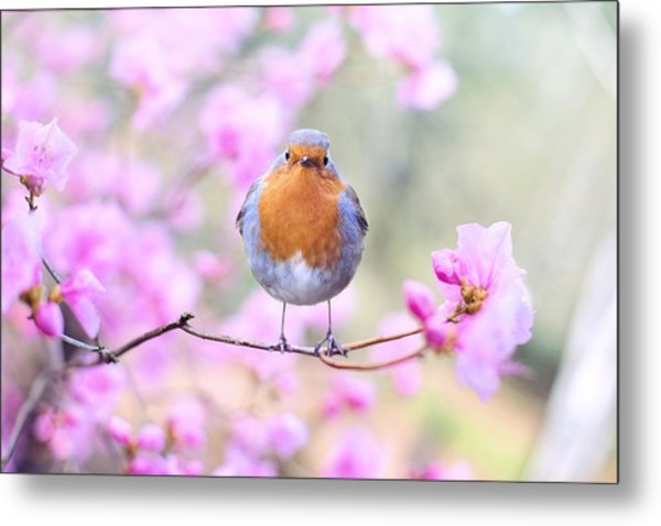 Robin On Pink Flowers Metal Print