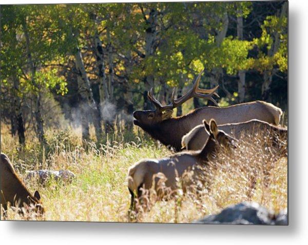 Rocky Mountain Bull Elk Bugeling Metal Print