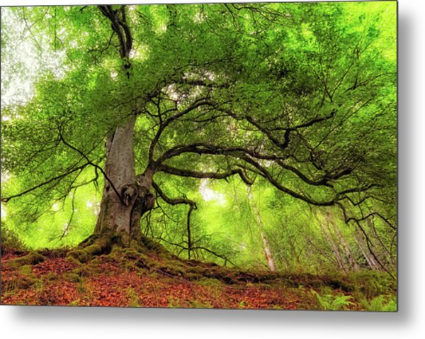 Roots Of Taymouth Estate - Scotland - Beech Tree Metal Print