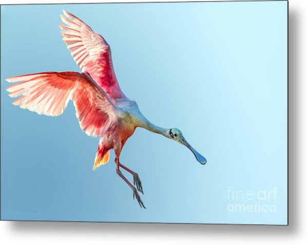 Roseate Spoonbill With Wings Flared And Metal Print