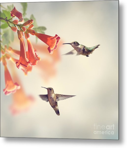 Ruby Throated Hummingbirds Hover Over Metal Print