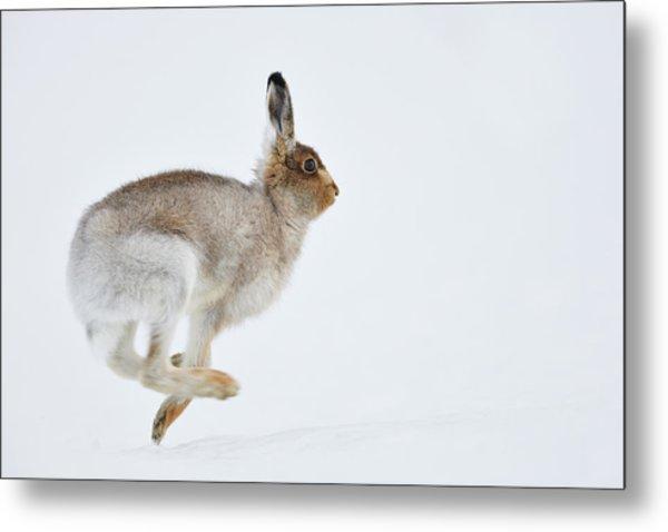 Running Mountain Hare Lepus Timidus Metal Print