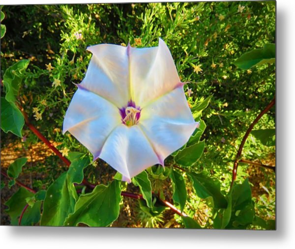 Metal Print featuring the photograph Sacred Datura In The Golden Hour by Judy Kennedy