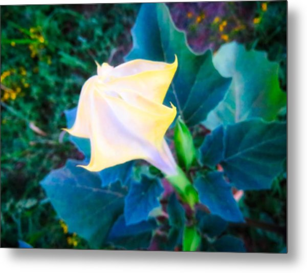 Metal Print featuring the photograph Sacred Datura - Partial Bloom by Judy Kennedy