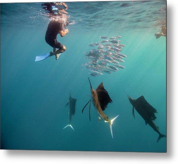 Sailfish And Snorkeler Standoff Metal Print by By Wildestanimal