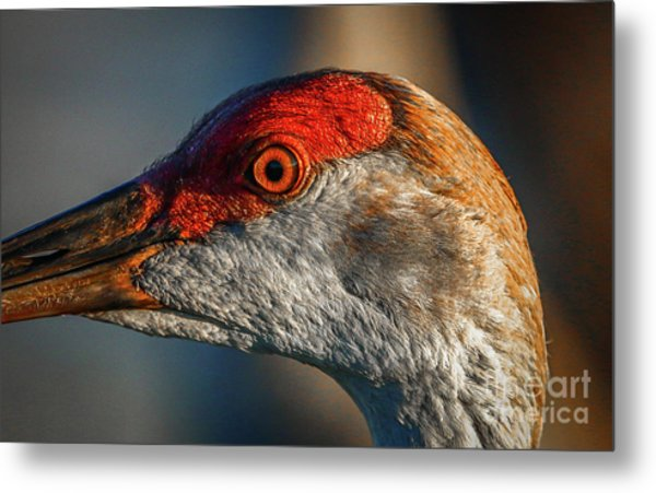 Metal Print featuring the photograph Sandhill Close Up Portrait by Tom Claud