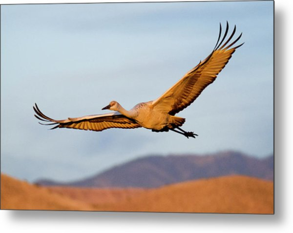 Metal Print featuring the photograph Sandhill Crane by Nicole Young