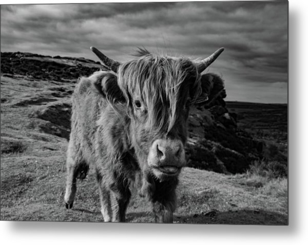 Saying Hello To A Highland Cow At Baslow Edge Black And White Metal Print