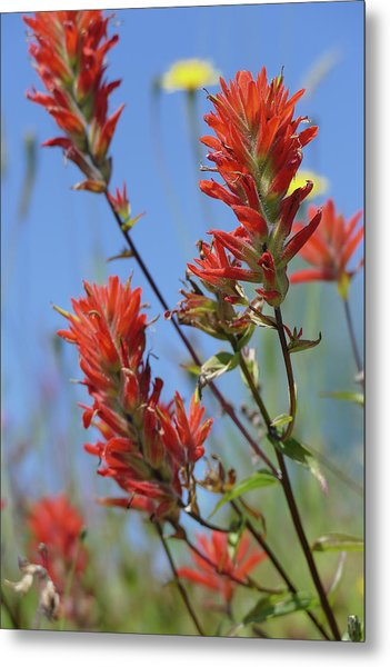 Scarlet Indian Paintbrush At Mount St. Helens National Volcanic  Metal Print