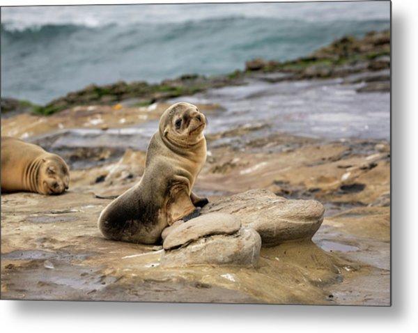 Sea Lion Pup Metal Print by K Pegg